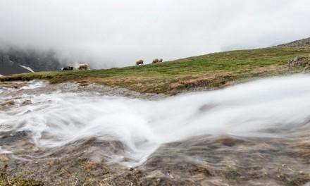 Die mystischen Schafwandertriebe in den Alpen